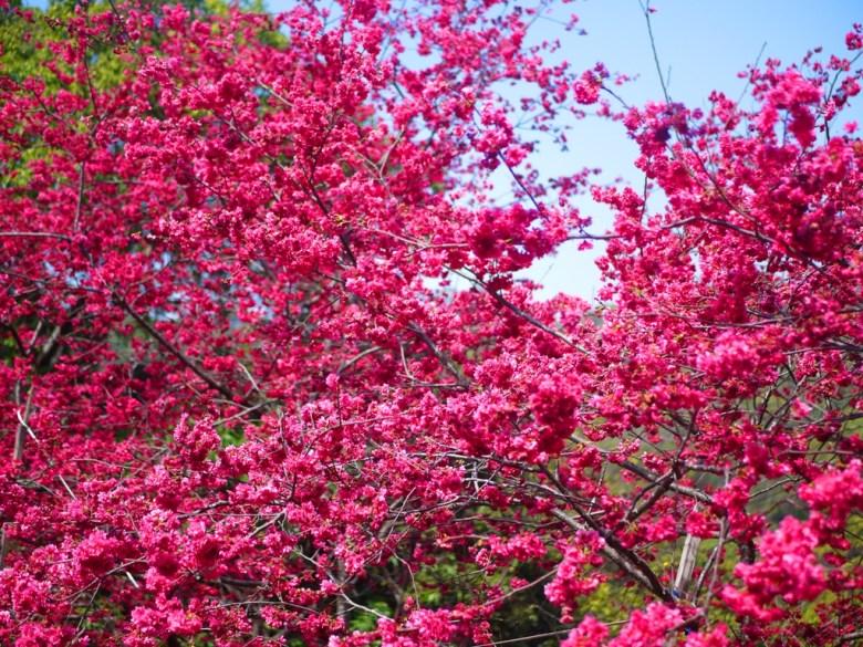 360度欣賞美麗的八重櫻 | 青山藍天 | 美麗的八重櫻秘境 | 湖水 | 員林 | 彰化 | 巡日旅行攝