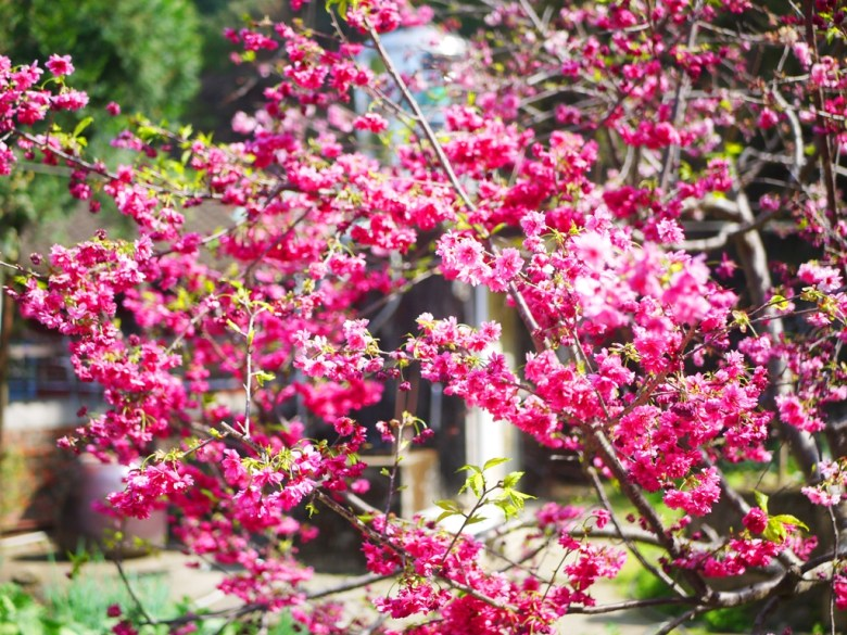 八重櫻與臺灣傳統民宅 | 湖水里八重櫻秘境 | 湖水 | 員林 | 彰化 | RoundtripJp