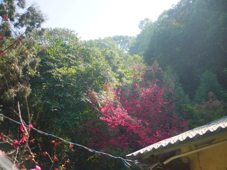 臺灣民宅旁的八重櫻 | 哪裡都是美麗的八重櫻 | 八重櫻秘境 | 湖水 | 員林 | 彰化 | 巡日旅行攝