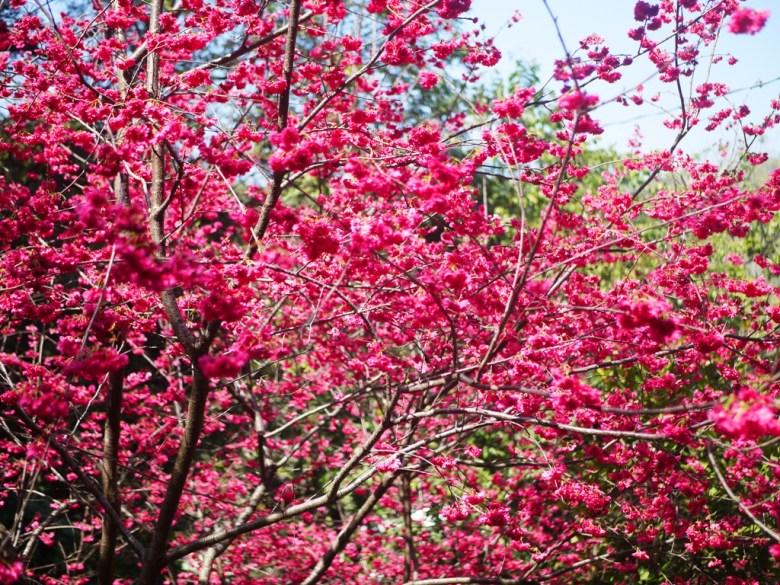 大滿開的八重櫻 | 滿滿的日本風情 | 八重櫻秘境 | 湖水 | 員林 | 彰化 | 巡日旅行攝