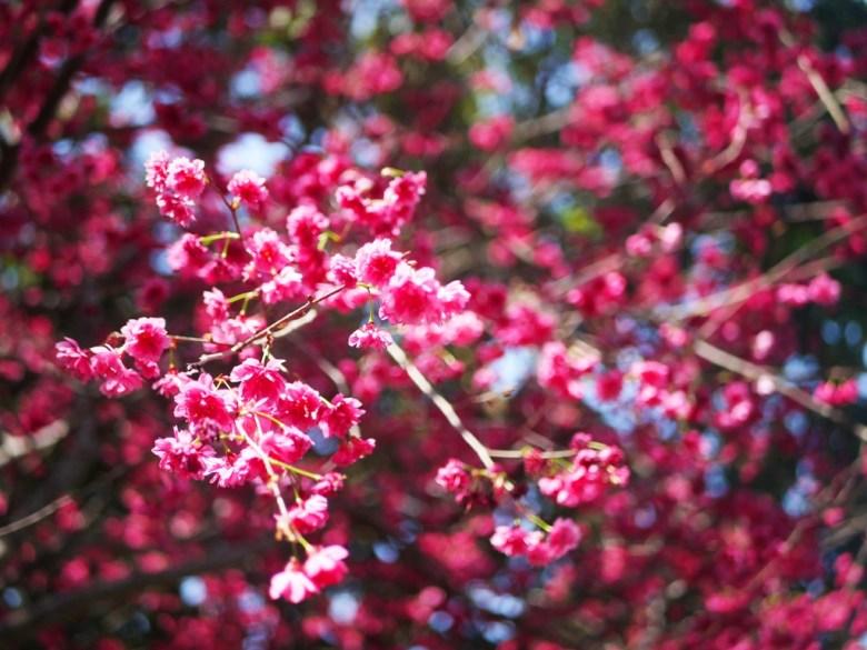 八重櫻櫻花海 | 美不勝收 | 鮮豔紅潤 | 湖水里八重櫻秘境 | 湖水 | 員林 | 彰化 | RoundtripJp