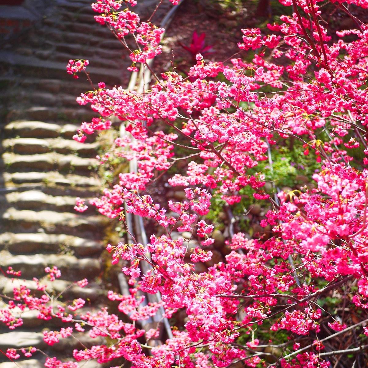 八重櫻與古樸的臺灣巷弄 | 石頭街道 | 古色古香 | 湖水里八重櫻秘境 | 湖水 | 員林 | 彰化 | RoundtripJp