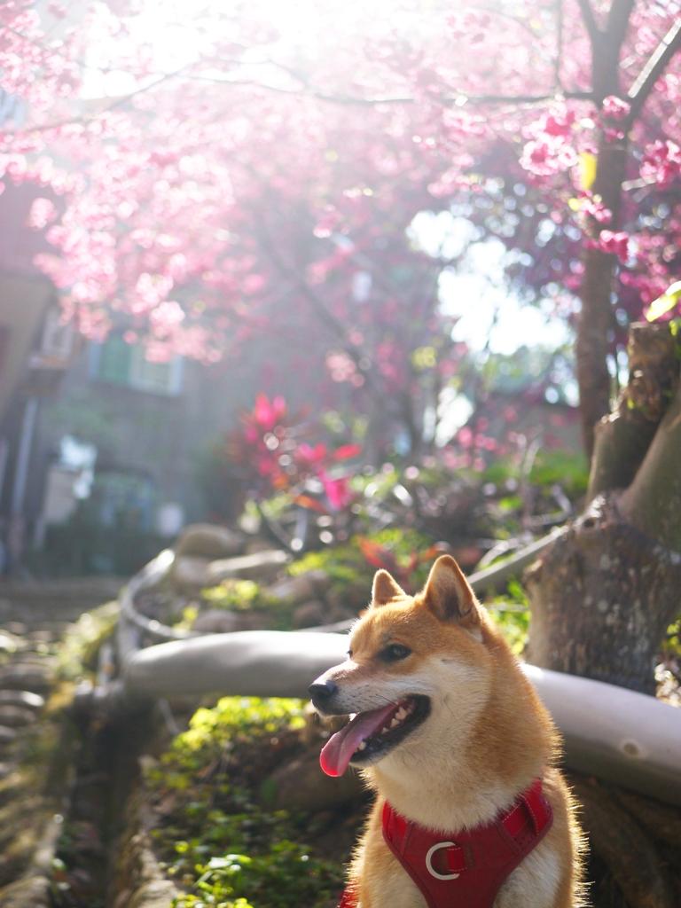 滿滿日本風情的畫面 | 日本柴犬 | 八重櫻 | 日本味 | 湖水 | 員林 | 彰化 | 巡日旅行攝