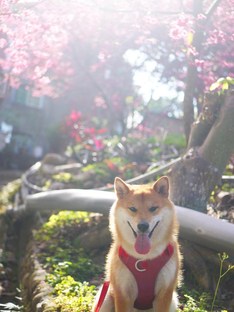 可愛柴柴 | 日本柴犬 | 湖水里八重櫻秘境 | 湖水 | 員林 | 彰化 | RoundtripJp