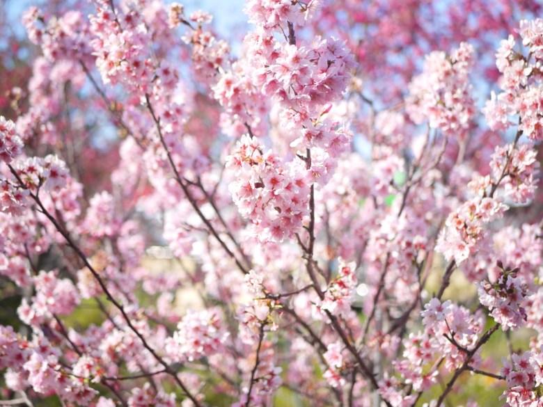 滿開的香水櫻 | 淡淡的櫻花香 | 私人園區 | 收費櫻花景點 | 泰安 | 苗栗 | RoundtripJp