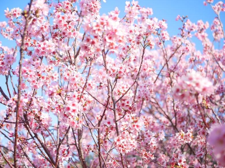 美不勝收的滿開櫻花 | 清香的櫻花 | 香水櫻 | 私人園區 | 收費櫻花景點 | 泰安 | 苗栗 | 巡日旅行攝