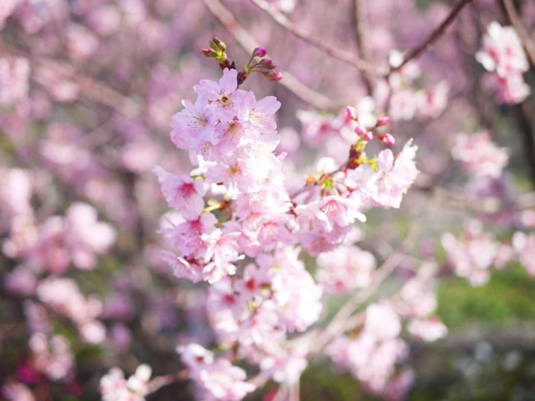 浪漫的花香 | 香水櫻 | 墨染櫻 | 變色櫻 | 私人園區 | 收費櫻花景點 | 泰安 | 苗栗 | 巡日旅行攝