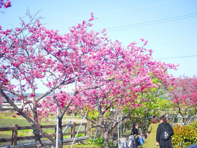 泰安派出所免費停車場櫻花林 | 人潮眾多 | Taian | Miaoli | 泰安 | 苗栗 | 巡日旅行攝