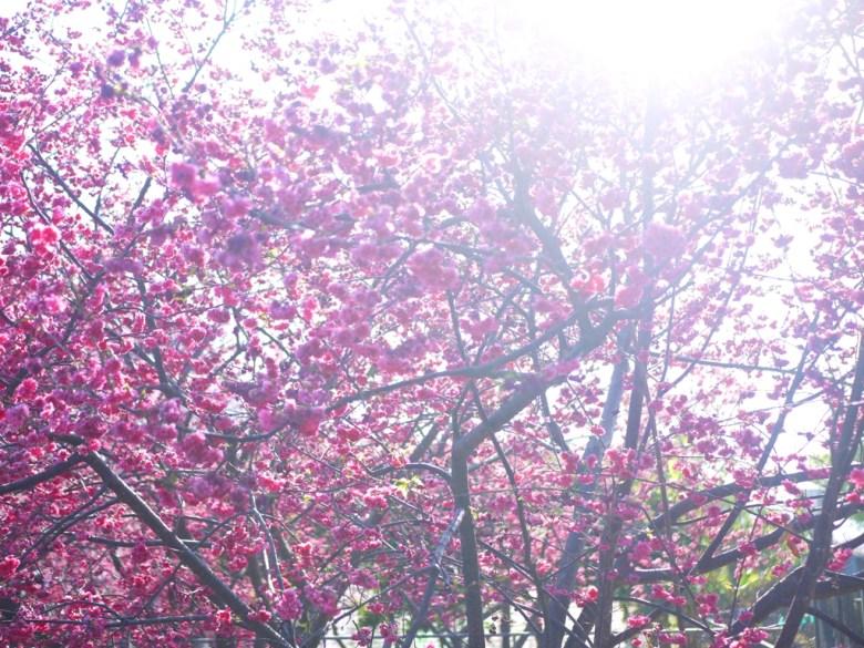 陽光燦爛 | 櫻花滿開 | 八重櫻 | 泰安櫻花大道 | 美不勝收 | 泰安 | 苗栗 | Taian | Miaoli | 巡日旅行攝