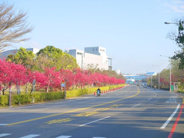 三豐路四段 | 中科崴立櫻花公園旁道路 | 相當顯眼的山櫻花林 | 后里 | 台中 | 和風臺灣 | RoundtripJp