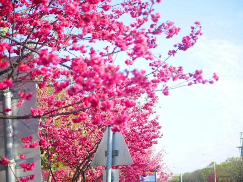 櫻花與街景 | 滿開的山櫻花 | 八重櫻 | 緋寒櫻 | 后里 | 台中 | 和風臺灣 | RoundtripJp