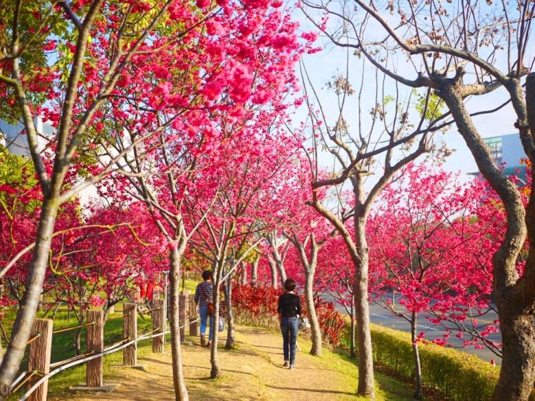 散策在櫻花樹下的浪漫 | 賞櫻 | 臺灣旅人 | Sakura | さくら | サクラ | Houli | Taichung | RoundtripJp
