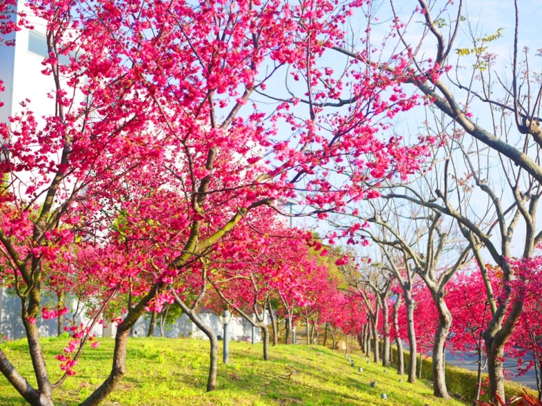 山櫻花並木 | 翠綠的綠色草皮 | 適合踏青 | Sakura | さくら | サクラ | Houli | Taichung | RoundtripJp