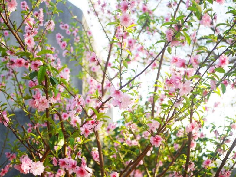 粉嫩嬌豔的河津櫻 | 日本味 | Sakura | さくら | サクラ | Houli | Taichung | 巡日旅行攝