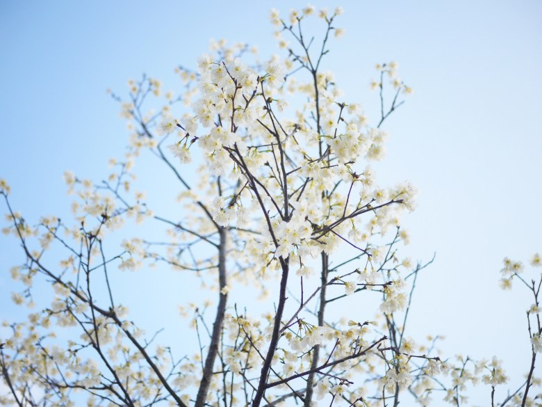 臺灣福爾摩沙櫻 | 日本綠萼樱 | 臺灣原生白山櫻亞種 | 潔白夢幻的純白櫻花 | Houli | Taichung | 巡日旅行攝