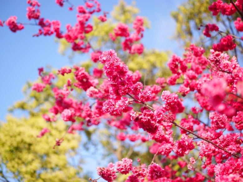 桃紅鮮豔的山櫻花 | 紅綠對比 | 花開 | 櫻花 | Houli | Taichung | RoundtripJp