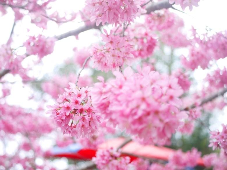猶如粉紅繡球花的紅粉佳人櫻花 | 紅粉佳人 | 櫻花大道 | 石壁風景區 | 石壁 | 古坑 | 雲林 | 一抹和風 | 巡日旅行攝
