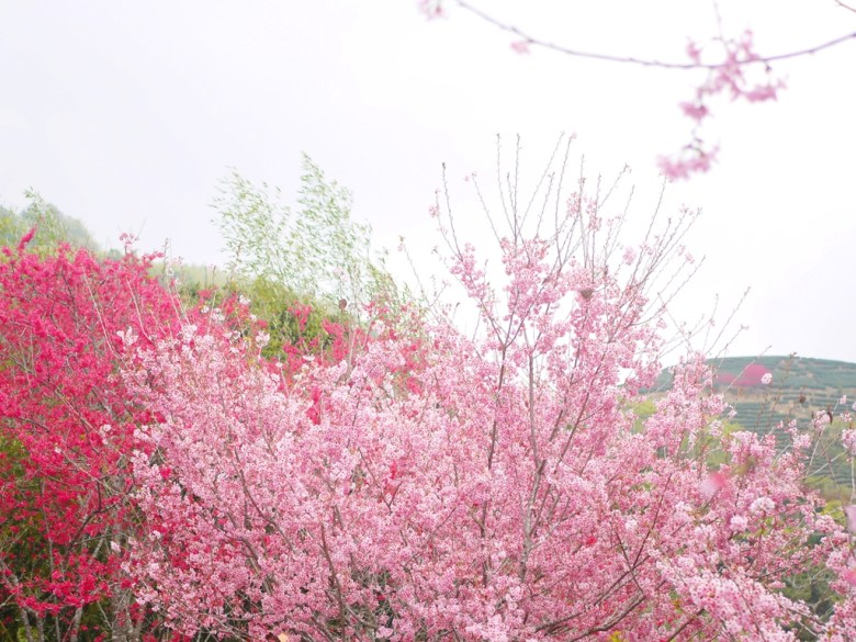 滿山滿谷的櫻花   前為紅粉佳人   後為山櫻花   遠山茶園   石壁風景區   石壁   古坑   雲林   巡日旅行攝