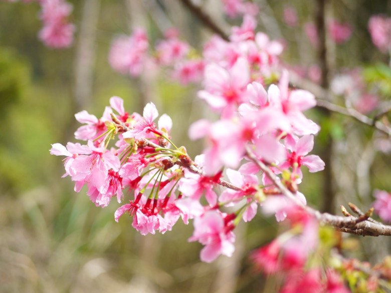 粉嫩的山櫻 | 日本味 | 櫻花大道 | 石壁風景區 | 石壁 | 古坑 | 雲林 | 巡日旅行攝