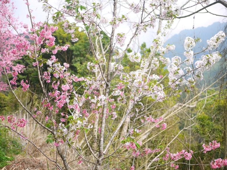 粉紅與潔白櫻花同棵樹的美麗景緻 | 第二條櫻花大道精華區 | 石壁風景區 | グーコン | Gukeng | RoundtripJp