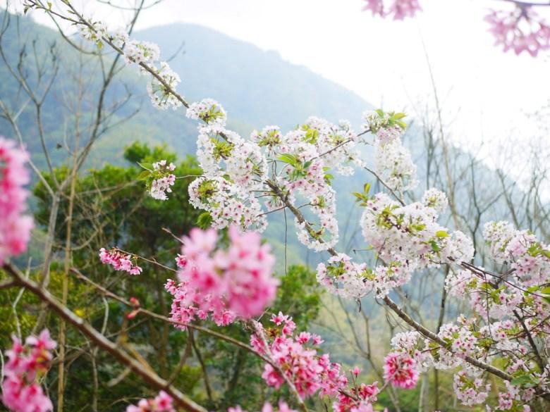 粉紅與潔白山櫻花同株的美麗景緻 | 粉紅與潔白櫻花相間 | 石壁風景區 | 石壁 | 古坑 | 雲林 | 巡日旅行攝