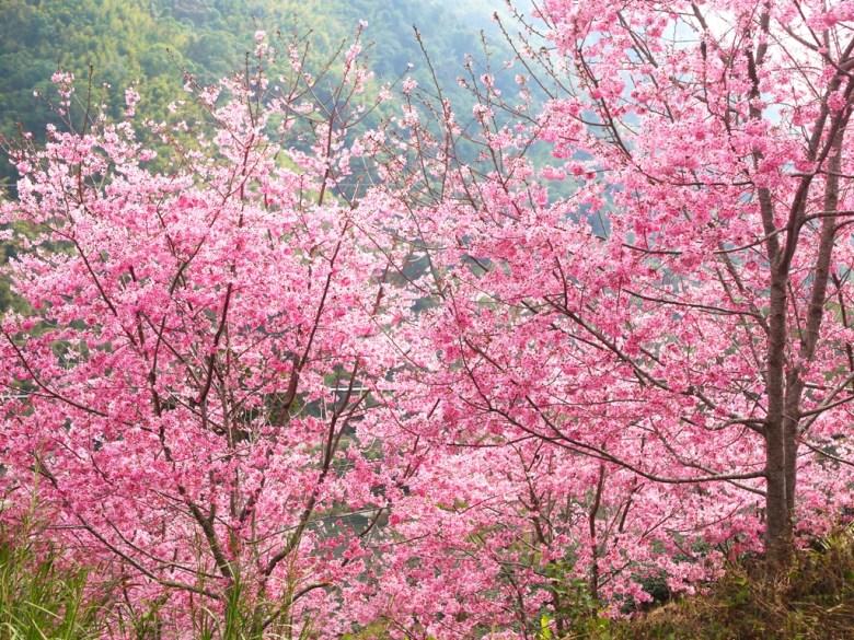 滿山遍野的粉紅櫻花 | 紅粉佳人 | 櫻花大道 | 石壁風景區 | 石壁 | 古坑 | 雲林 | 巡日旅行攝