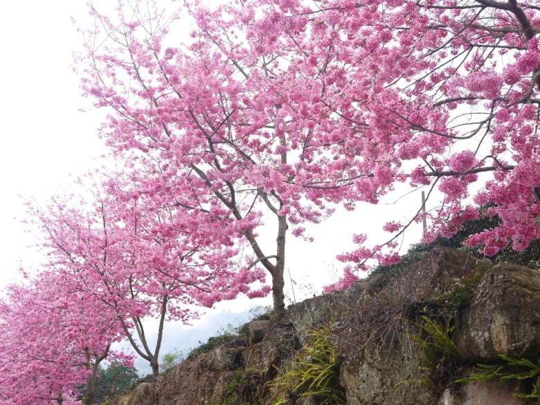 滿天都是粉紅的櫻花 | 紅粉佳人 | 櫻花大道 | 石壁風景區 | 石壁 | 古坑 | 雲林 | RoundtripJp
