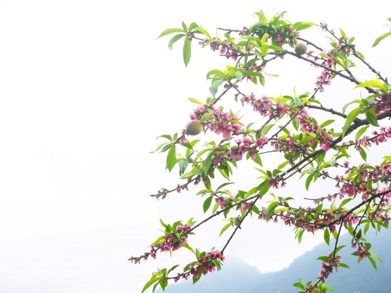 開花結果的桃花   桃子   遠山   雲霧   往美人谷賞櫻環線   石壁   古坑   雲林   巡日旅行攝