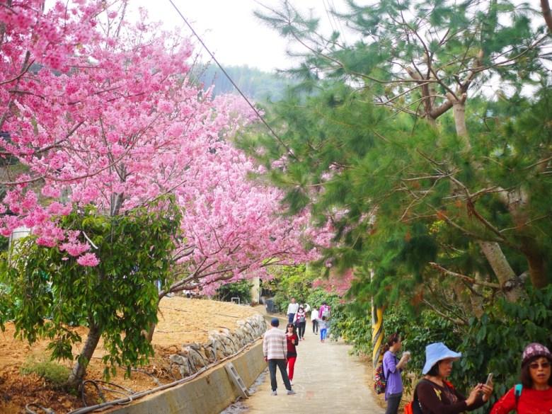 紅粉佳人 | 松樹 | 往美人谷賞櫻環線 | 臺灣觀光客 | Gukeng | Yunlin | 巡日旅行攝