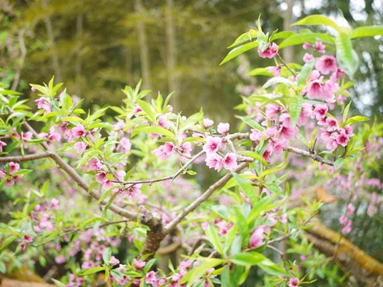 美麗的桃花   自然的綠   親近大自然   森呼吸   石壁風景區   Gukeng   Yunlin   巡日旅行攝
