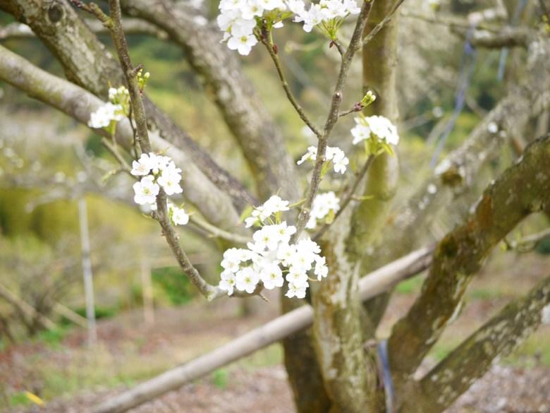 白色山櫻 | 臺灣原生種 | 夢幻潔白 | 福爾摩沙櫻 | 數量稀少 | 石壁 | 古坑 | 雲林 | 巡日旅行攝
