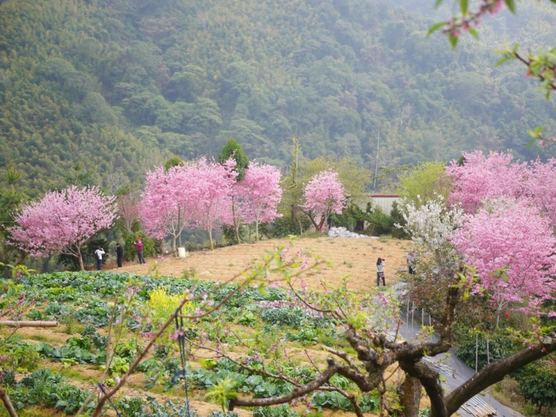 高麗菜園 | 圍繞著紅粉佳人櫻花 | 山中農園 | 石壁風景區 | Gukeng | Yunlin | RoundtripJp