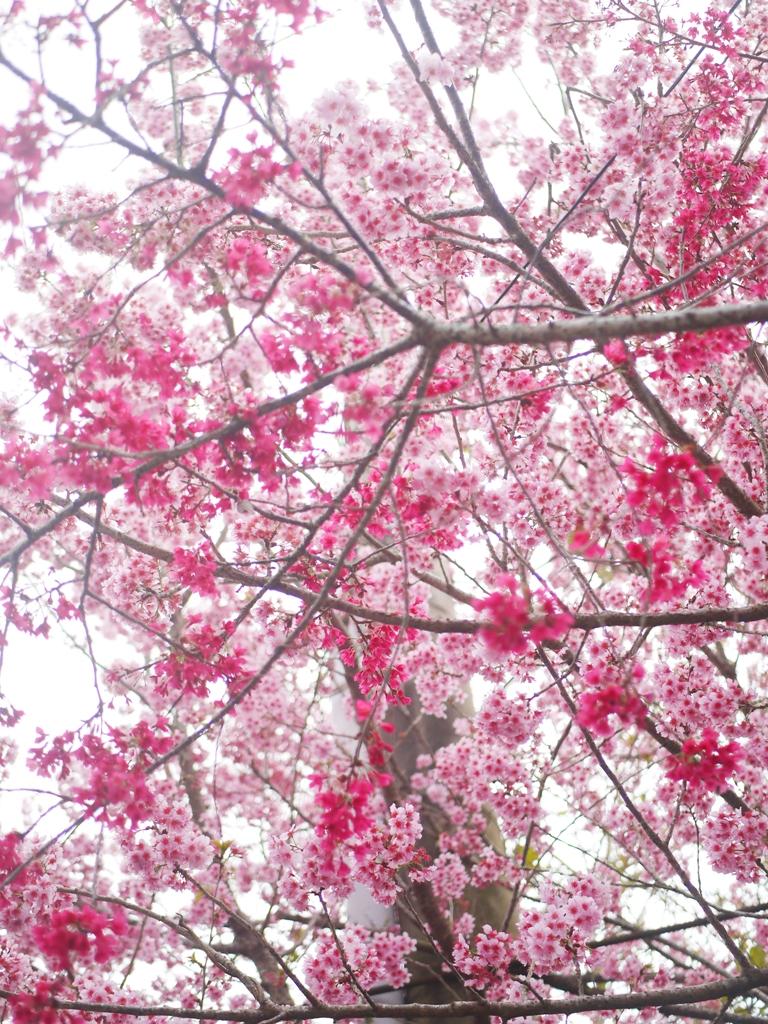 將整個天空與電線杆包圍的美麗山櫻花與紅粉佳人 | 石壁風景區 | Gukeng | Yunlin | 巡日旅行攝