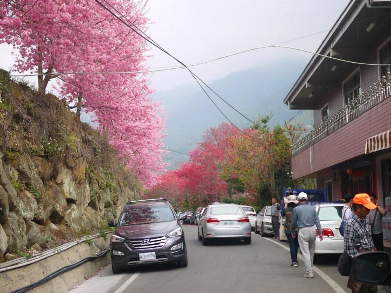 滿滿綿延不絕盛開的櫻花大道   綿延不絕的車龍   人潮爆滿   石壁風景區   Gukeng   Yunlin   RoundtripJp