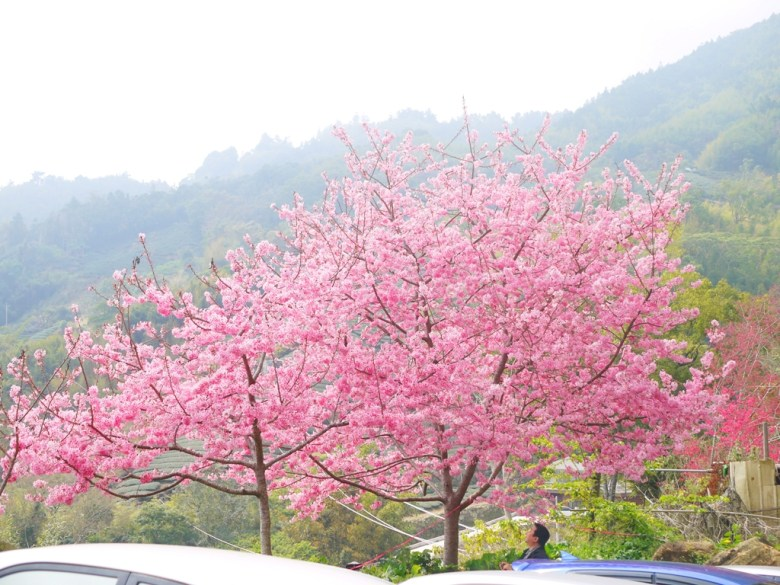 滿開的紅粉佳人櫻花 | 免費停車場 | 蘇家農園前免費停車場 | 石壁風景區 | Gukeng | Yunlin | 巡日旅行攝