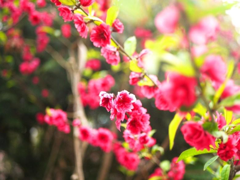 鮮豔紅潤的紅杏花   紅色杏花   美麗動人   石壁風景區   Gukeng   Yunlin   RoundtripJp