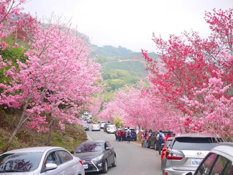 絕美的櫻花大道   第二條櫻花大道   石壁風景區   Gukeng   Yunlin   巡日旅行攝