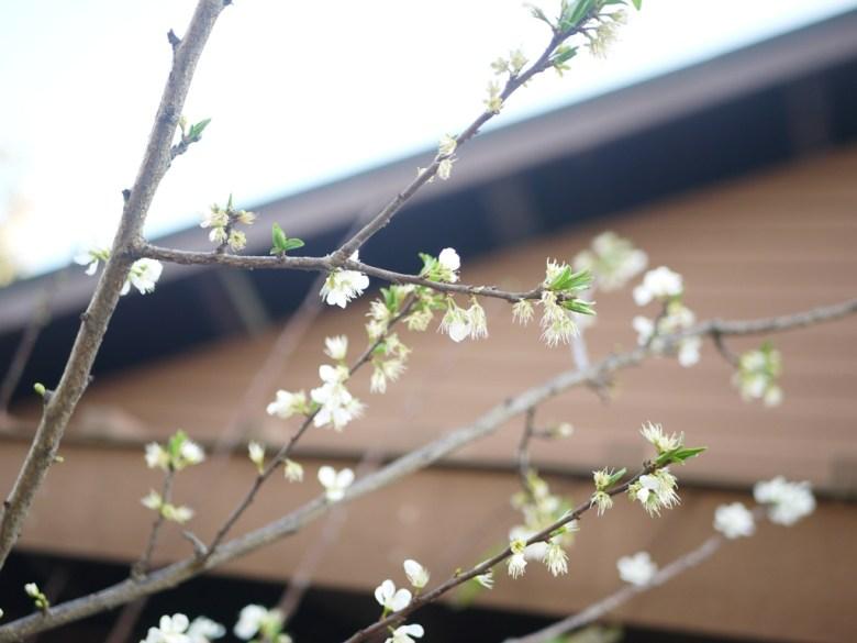 白色櫻花 | 福爾摩沙櫻花 | 絕美櫻花 | 集集 | 南投 | Jiji railway station | 巡日旅行攝