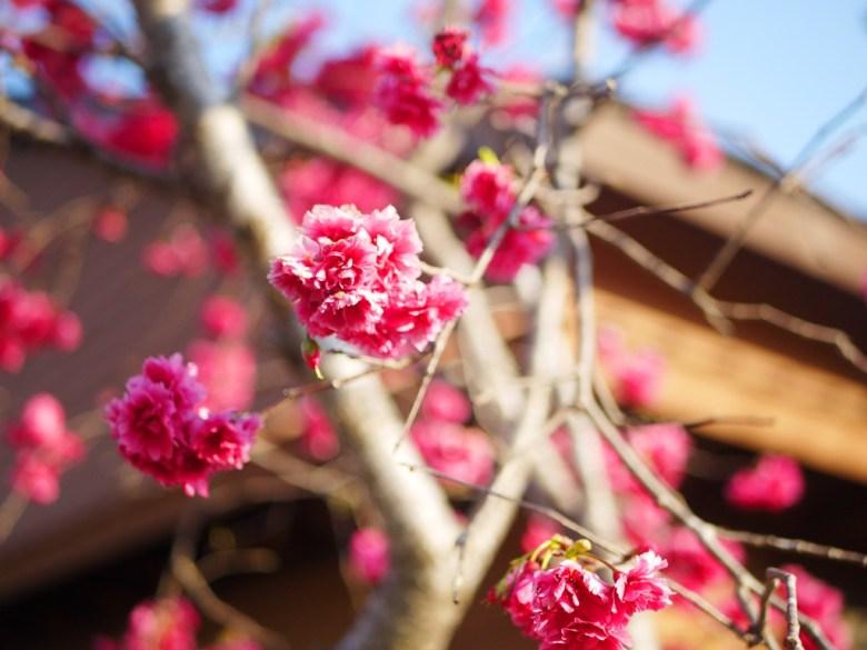 絕美的八重櫻 | 紅潤鮮豔 | 木造日式建築 | 櫻花車站 | 集集 | 南投 | しゅうしゅうえき | 巡日旅行攝