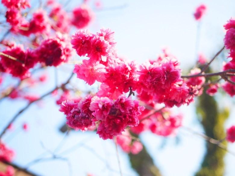 盛開的八重櫻 | 日本味 | 櫻花車站 | 集集 | 南投 | Jiji | Nantou | RoundtripJp