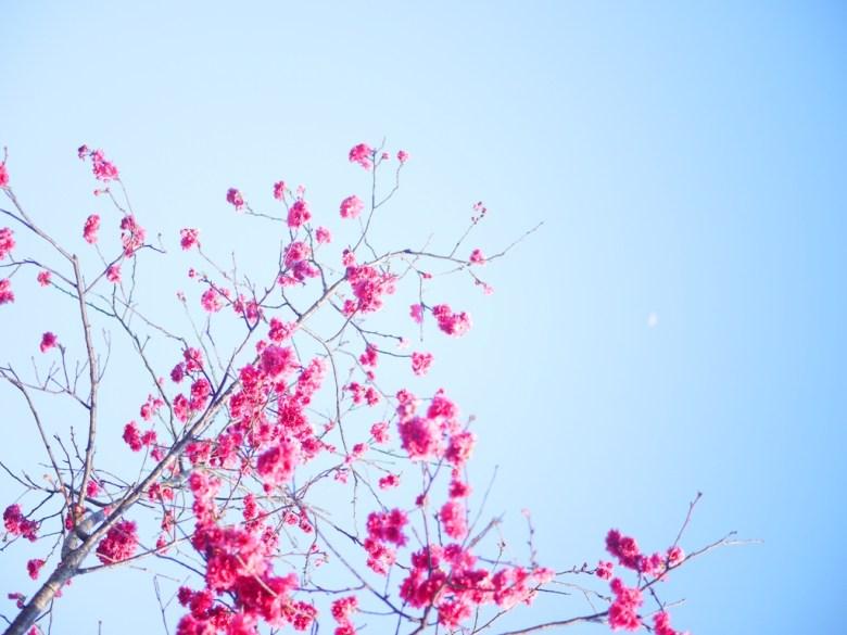 八重櫻與月亮 | 青空與櫻 | 美麗的畫面 | 日本味 | 集集 | 南投 | しゅうしゅうえき | 巡日旅行攝