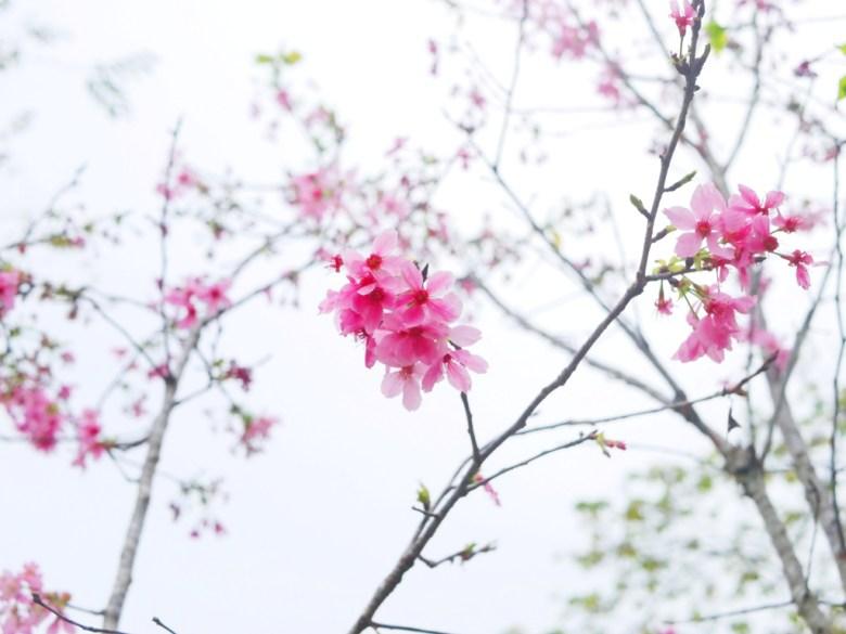 河津櫻 | Sakura | さくら | サクラ | 小半天石馬公園 | 鹿谷 | 南投 | 和風臺灣 | RoundtripJp
