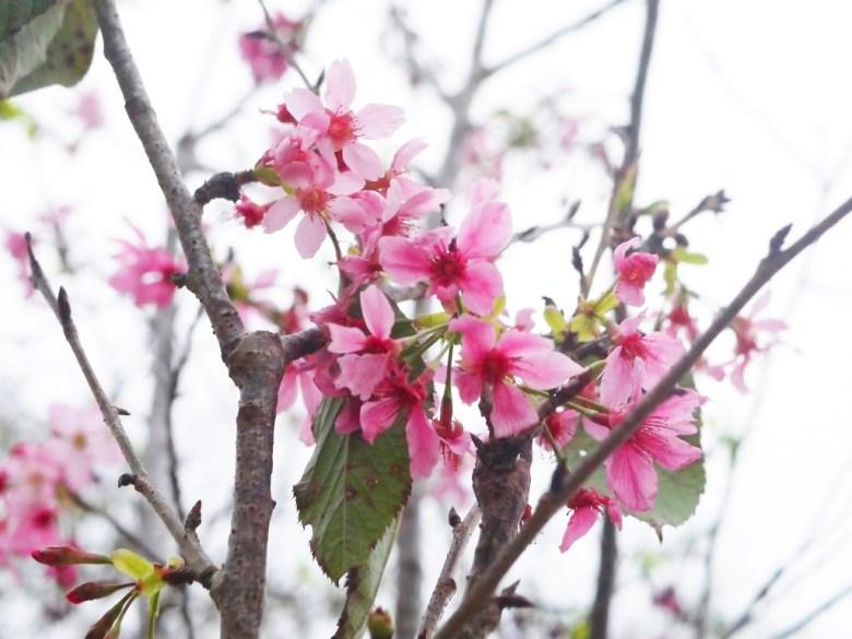 絕美河津櫻 | Sakura | さくら | サクラ | ルーグー | Lugu | Nantou | 巡日旅行攝