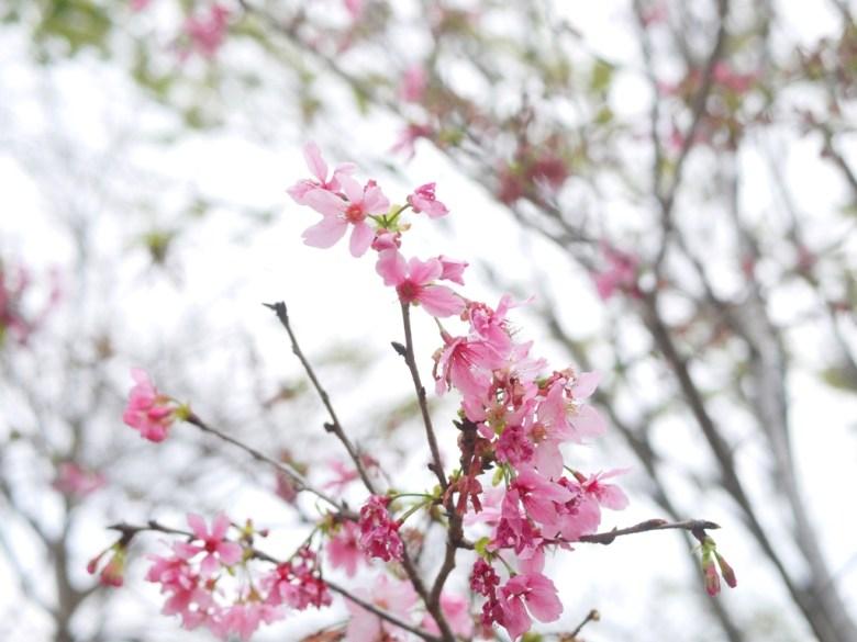 美麗河津櫻 | Sakura | さくら | サクラ | ルーグー | Lugu | Nantou | RoundtripJp