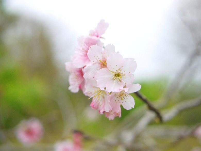 粉嫩夢幻的河津櫻 | 石馬公園 | Shih Ma Park | 櫻花公園 | 日式公園 | 巡日旅行攝