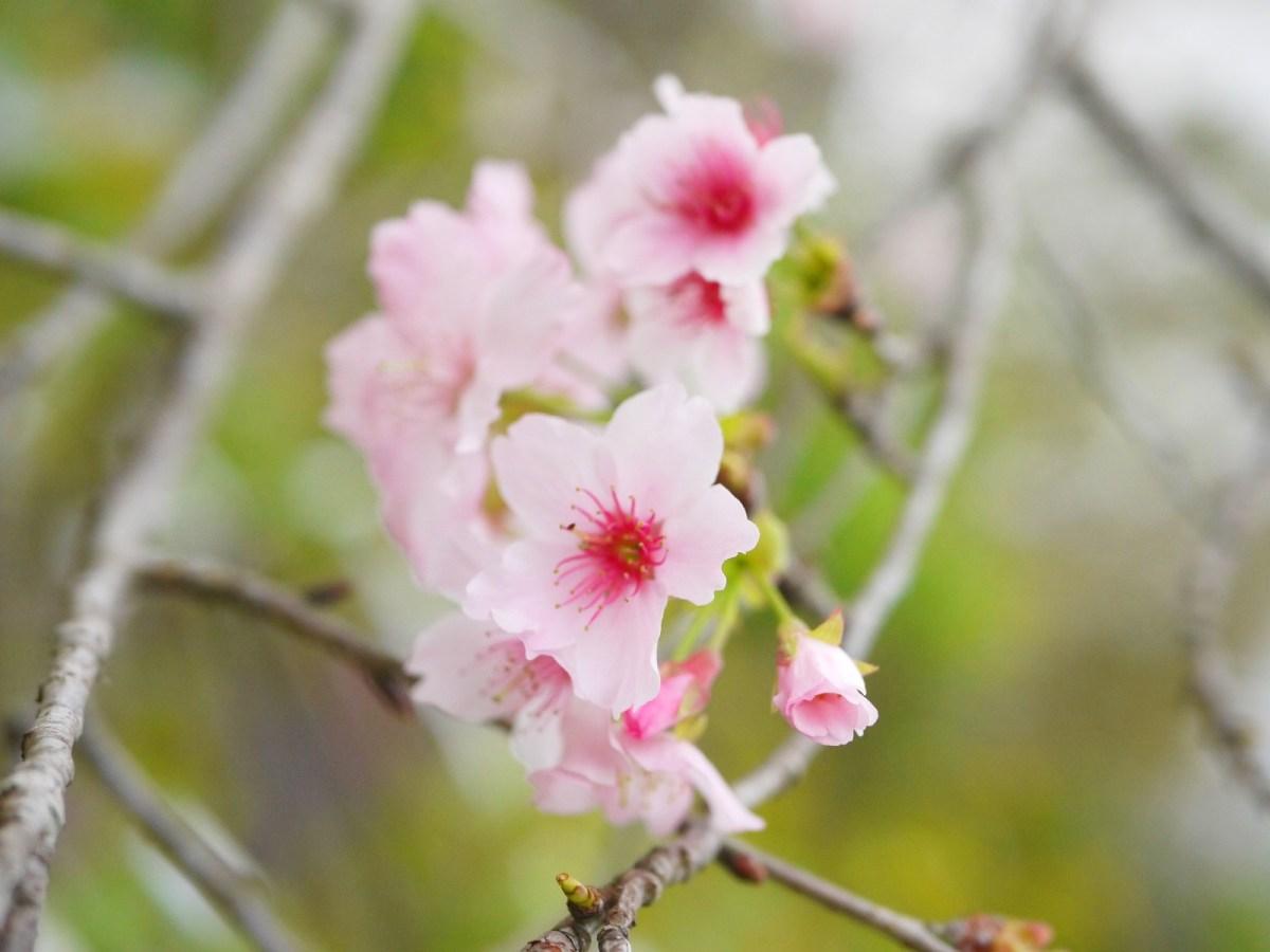 粉紅的河津櫻 | 櫻花公園 | 日式公園 ルーグー | Lugu | Nantou | RoundtripJp