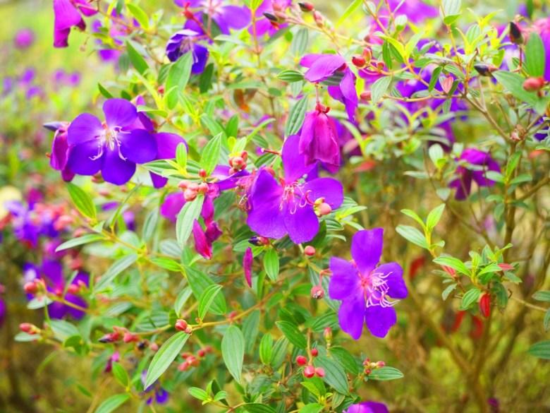 杜鵑花 | 映山紅 | 滿山紅 | 櫻花公園 | 日式公園 | ルーグー | Lugu | Nantou | RoundtripJp