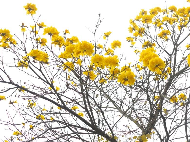 黃花風鈴木 | 黃金般的美麗景緻 | 櫻花公園 | 日式公園 | ルーグー | Lugu | Nantou | RoundtripJp