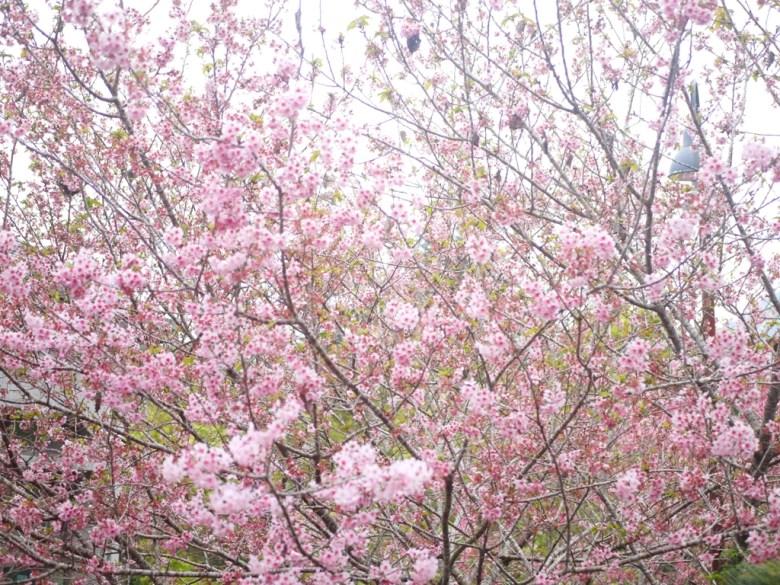大滿開的櫻花海 | 絕美景色 | 日本味 | 南投鳳凰自然教育園區 | 鹿谷 | 南投 | 巡日旅行攝