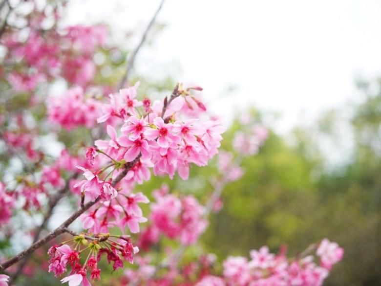 粉嫩動人 | 日本風情 | 河津櫻 | 網美景點 | 南投鳳凰自然教育園區 | 鹿谷 | 南投 | 巡日旅行攝